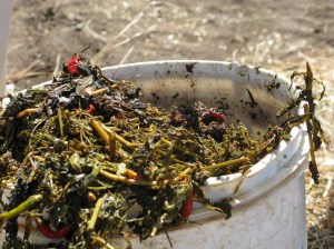 A bucket filled with green material and chemical for composting