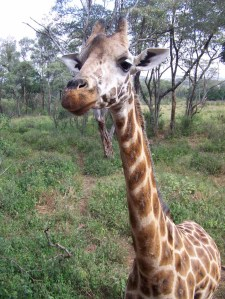 A Giraffe at the Giraffe Center in Nairobi