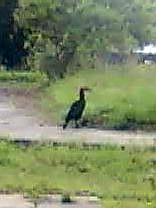 Black hornbill closeup